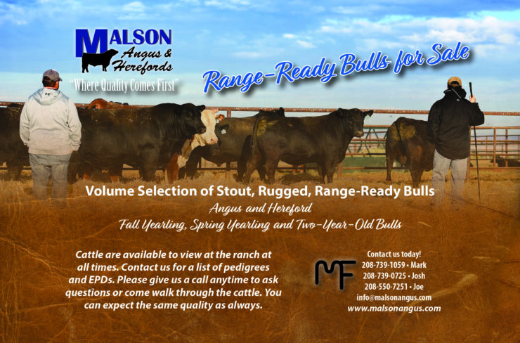 Range-ready Angus and Hereford bulls for sale